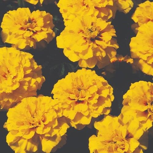 Marigold French Janie Bright Yellow