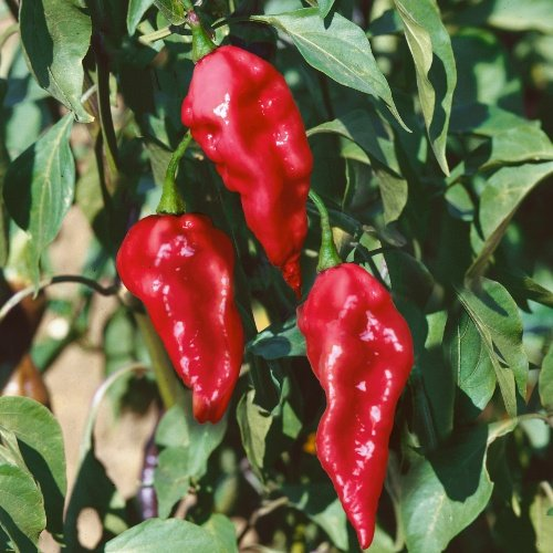 Pepper Ghost (Naga Jolokia)