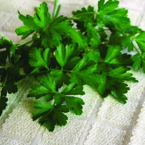 Parsley Dark Green Italian