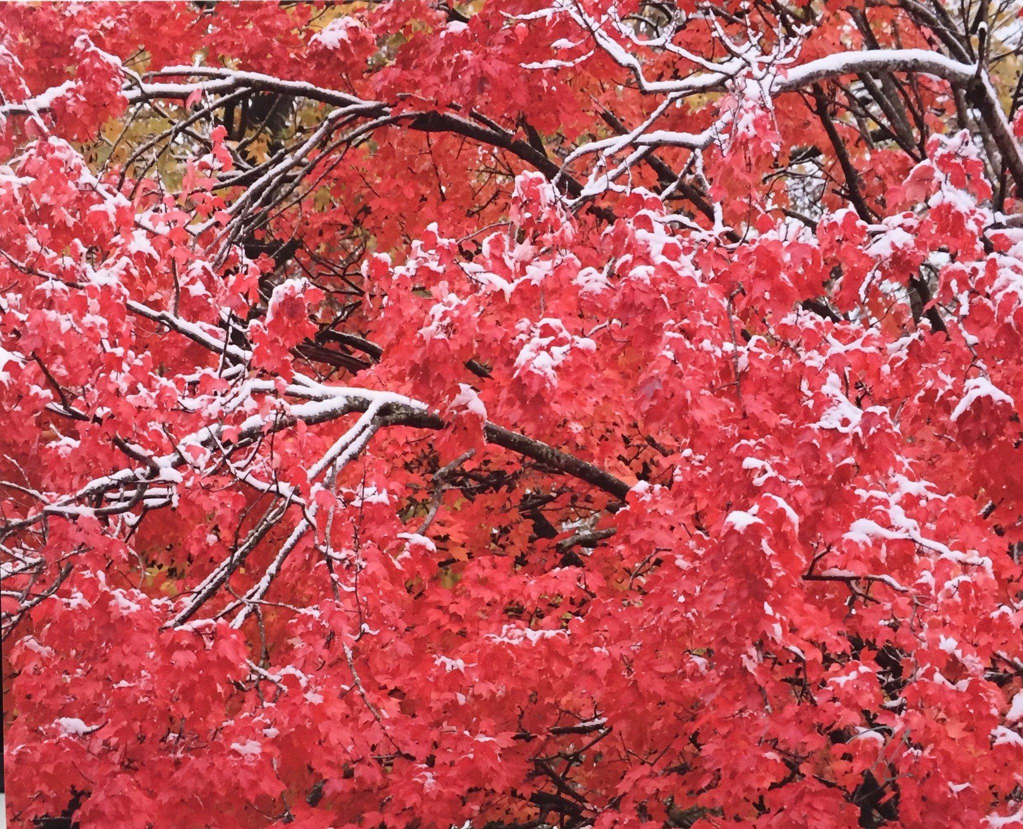 "Maple Tree, Autumn Snow Photography 8"" X 10"" $25."