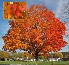 Norway Maple2