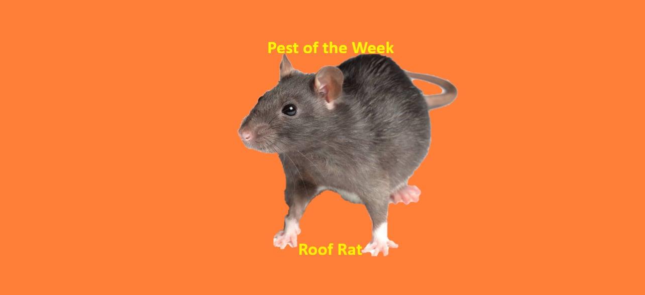 https://0201.nccdn.net/4_2/000/000/038/2d3/Roof-Rat-1284x588.jpg