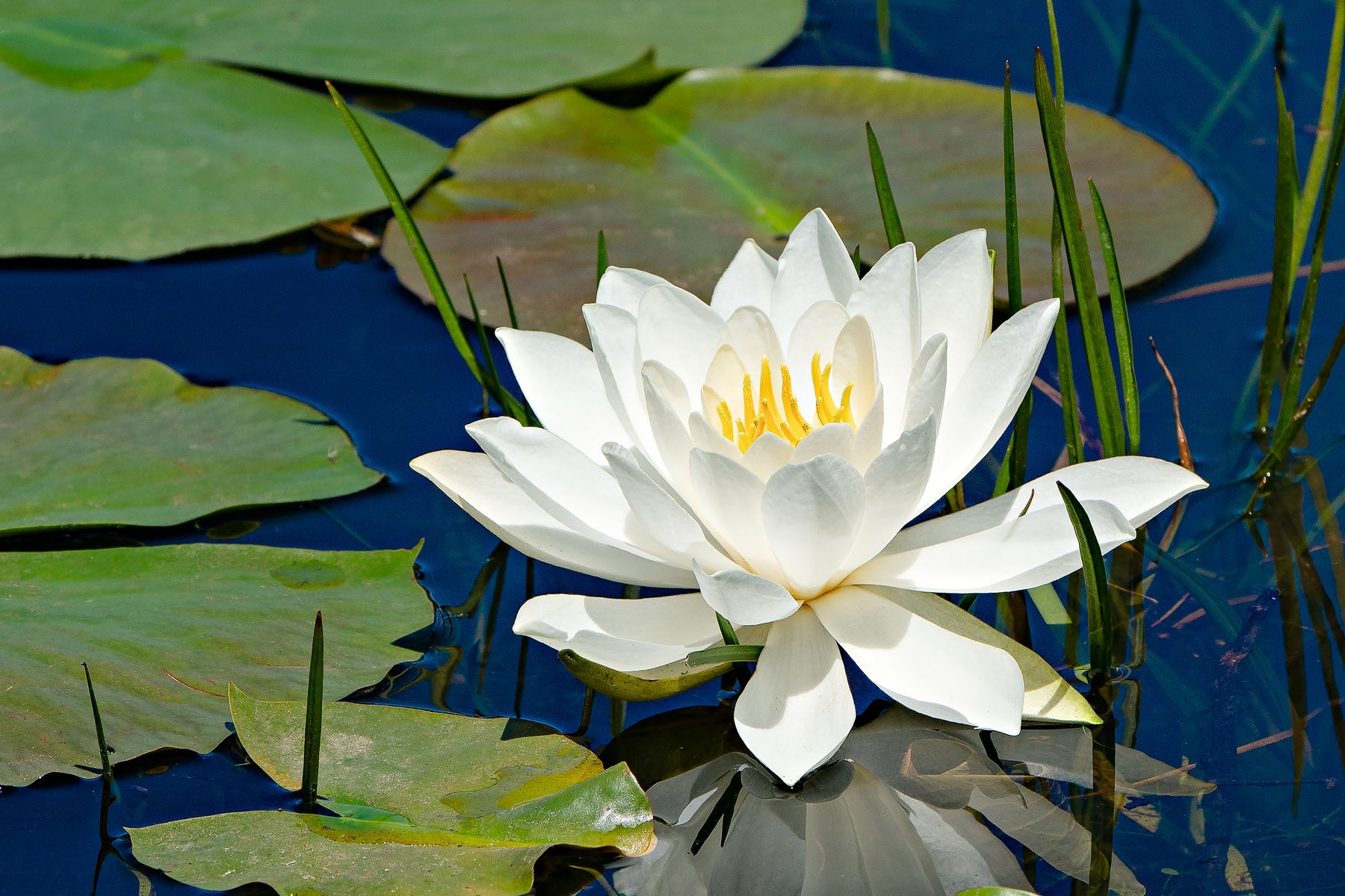 WATER LILY - I came upon this lily in a pond in New Hampshire. I've often photographed water lilies without much to show, but I am pleased with this shot.