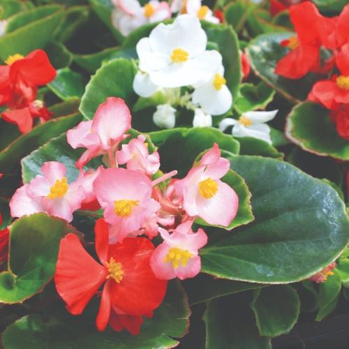 Begonia Fibrous-Rooted Ambassador Mix F1