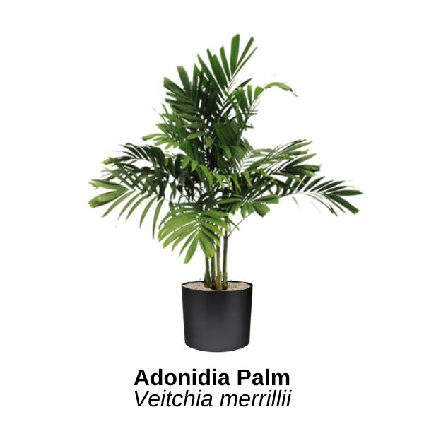 https://0201.nccdn.net/4_2/000/000/038/2d3/adonidia-palm.png