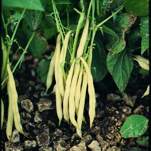 Bean Golden Rod