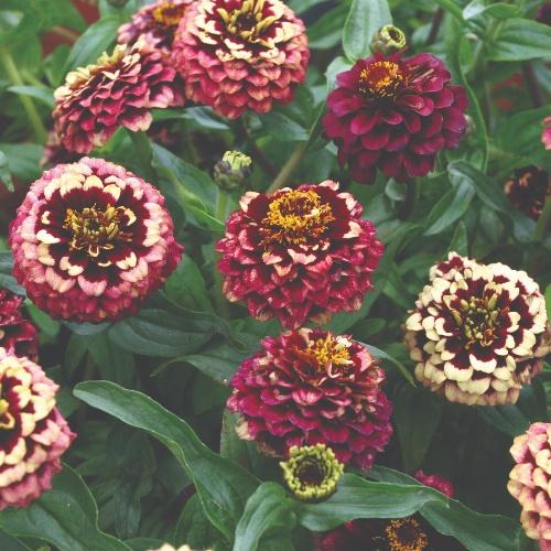 Aztec Burgundy Bicolor