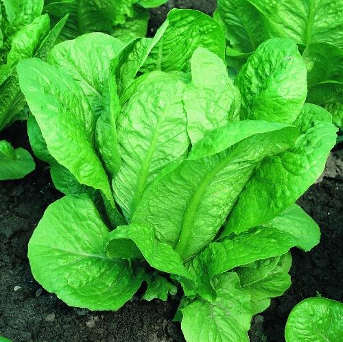 Lettuce Vivian