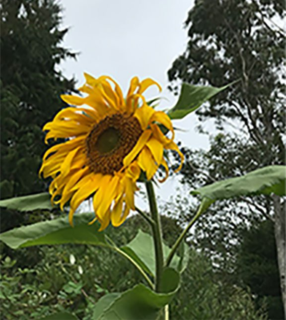 Mammoth Sunflower at L.U.T.E.A. Freedom Gardens