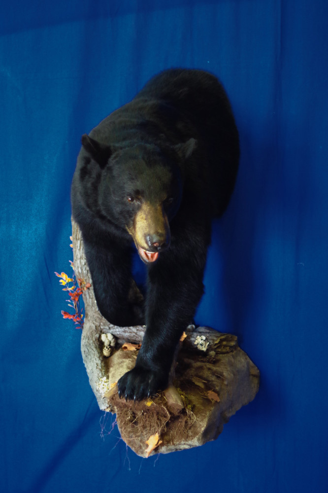 Big male bear 3/4 mount with pant and custom base.