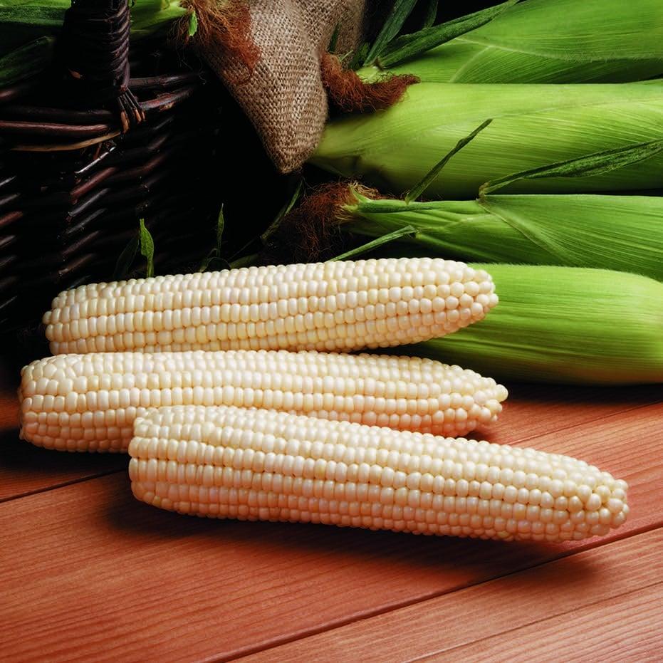Sweet Corn Synergistic White Avalon