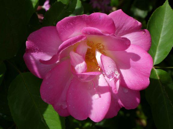 Brenda's 'Angelina', a repeat-flowering damask.