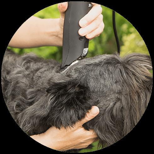 Cutting Big Black Schanuzer Dog