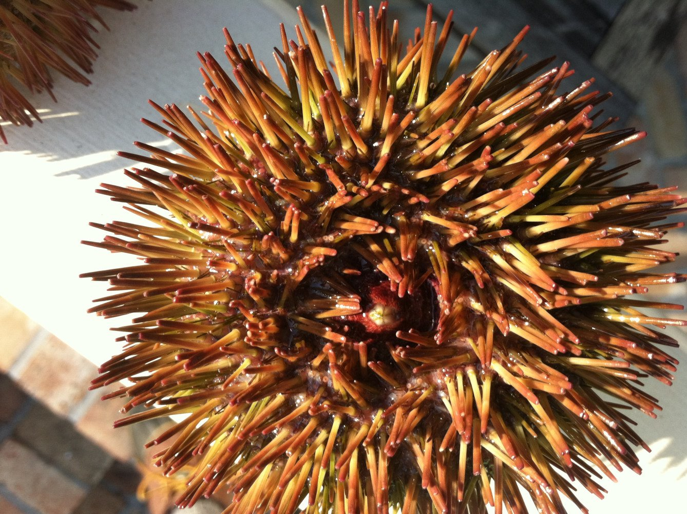 SEA URCHIN OFFER COMMERCIAL OPPORTUNITIES AND ALSO AN PLAY AN IMPORTANT ROLE IN OUR CORAL REEF AND SEA FLOOR ENVIRONMENTS  (Lytechinus variegatus)