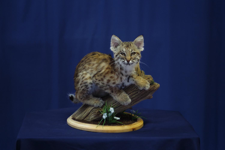 bobcat-kitten