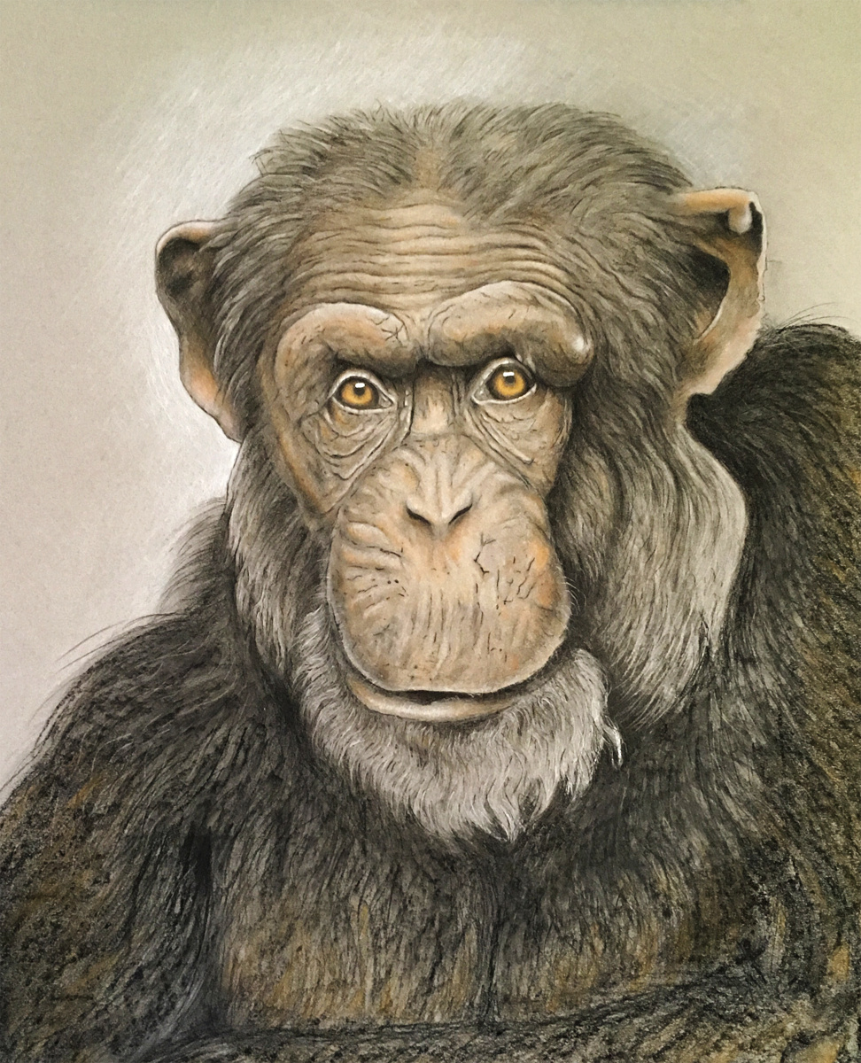 Gorilla, 2015 Pastel on Paper 12 in × 16 in
