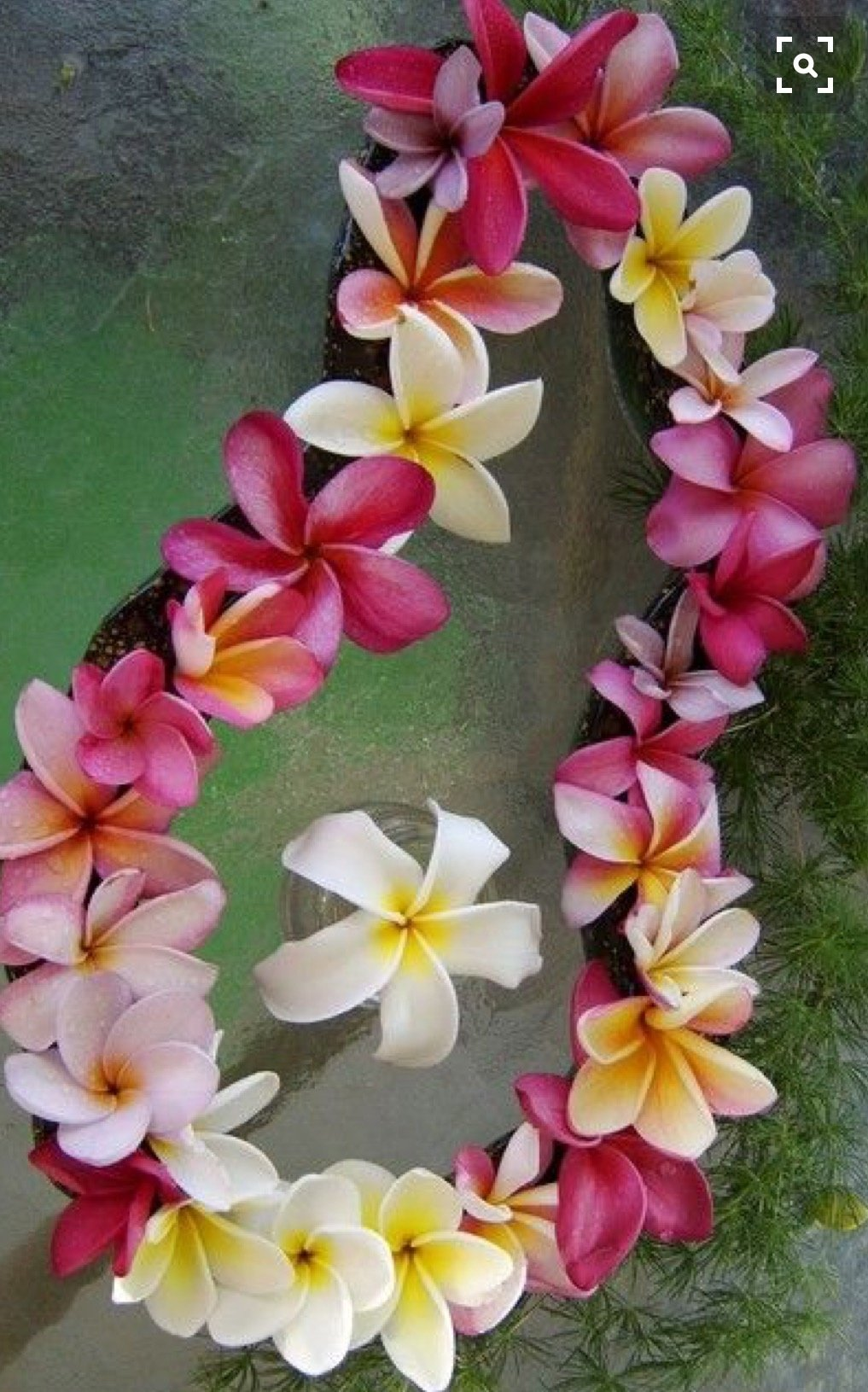 Lei of Beautiful Plumerias