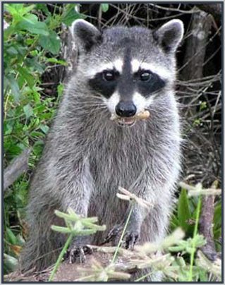 Raccoon in the backyard||||