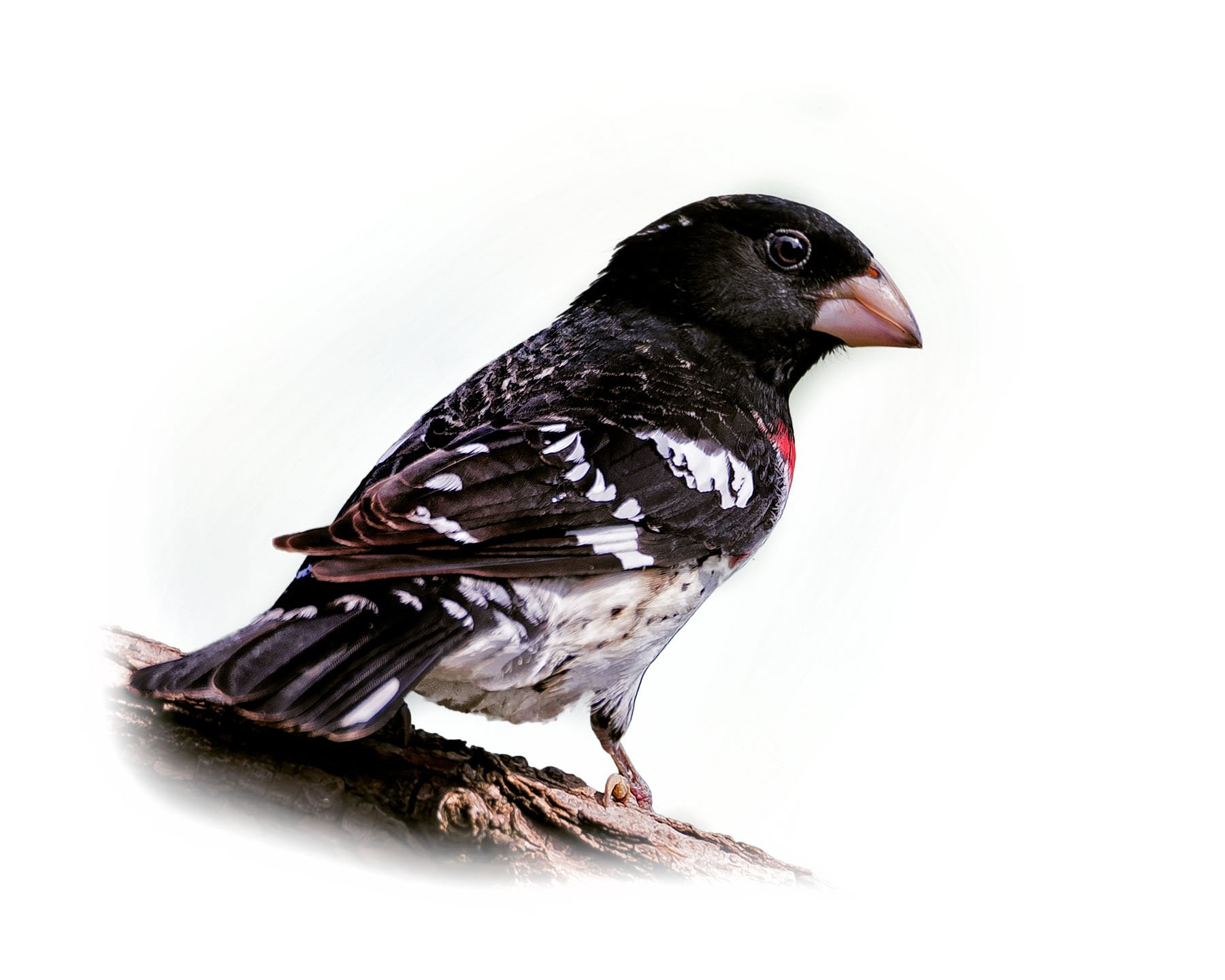Rose-breasted Grosbeak 3