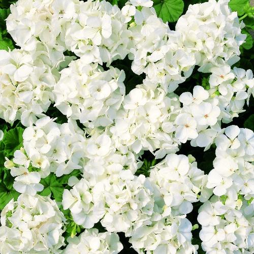 Multibloom White