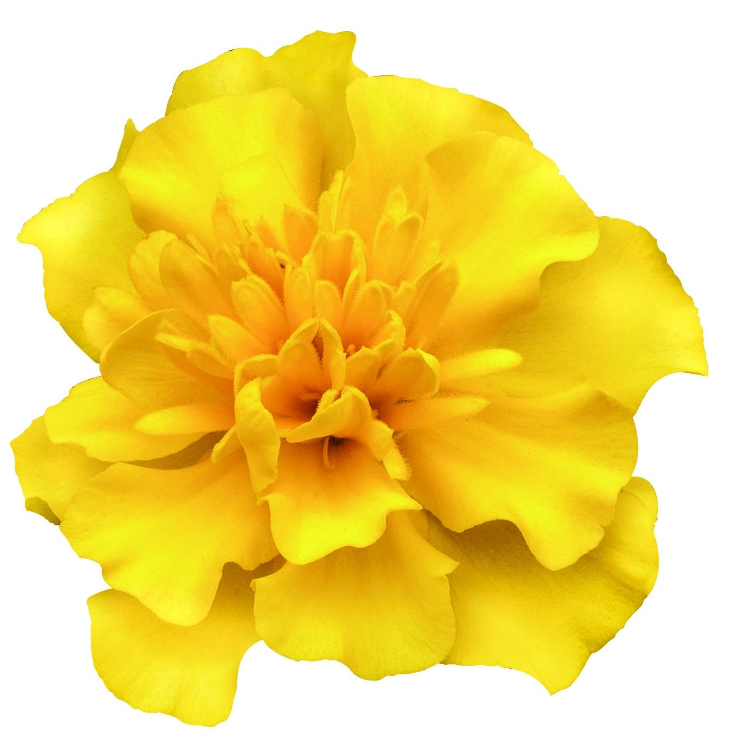 Marigold French, Super Hero™ Yellow