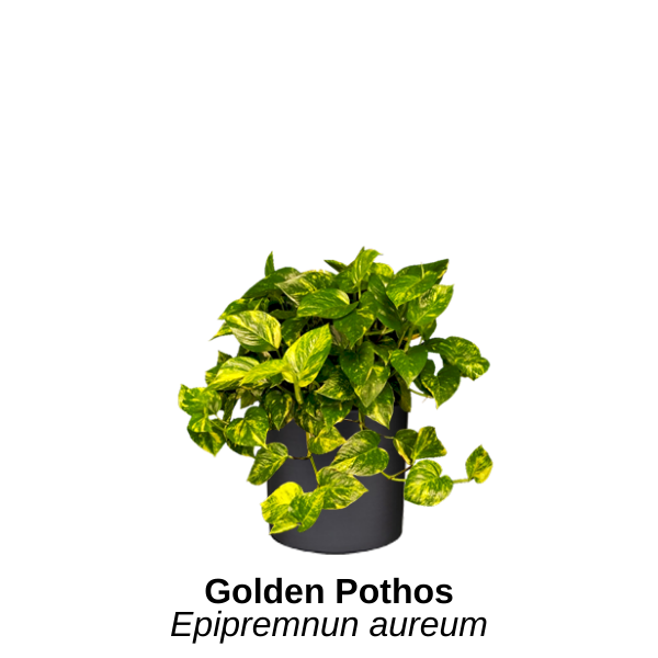 https://0201.nccdn.net/4_2/000/000/046/6ea/golden-pothos.png