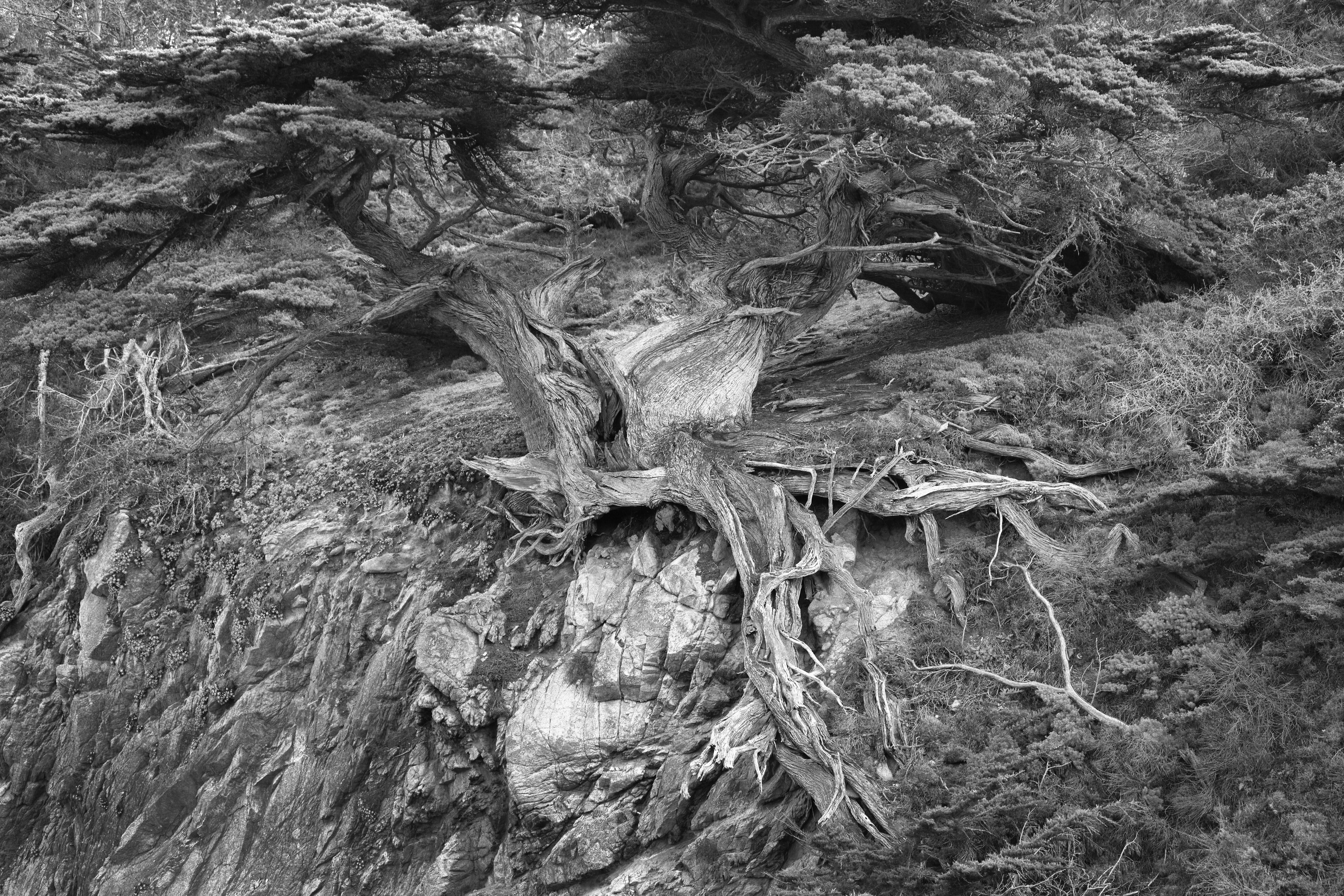 Point Lobos Clinging Cypress