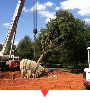 Relocating a Tree With a Crane