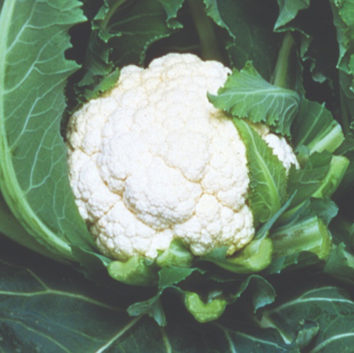 Cauliflower Majestic F1