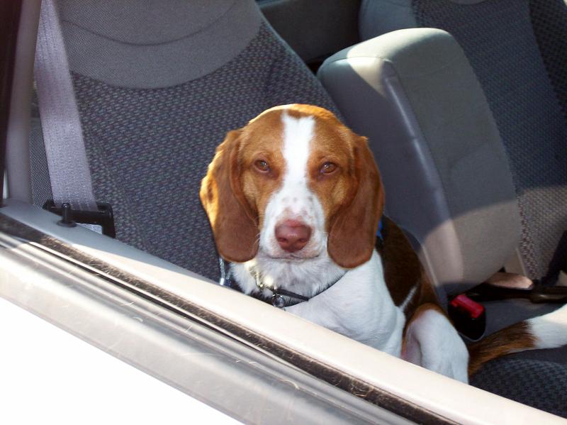 Beagle Inside TheCar