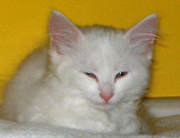 https://0201.nccdn.net/4_2/000/000/04b/787/White-Kitten-599x460.jpg