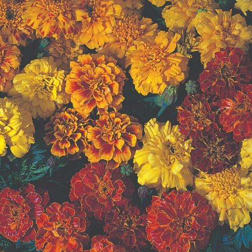 Marigold Triploid Zenith Mix