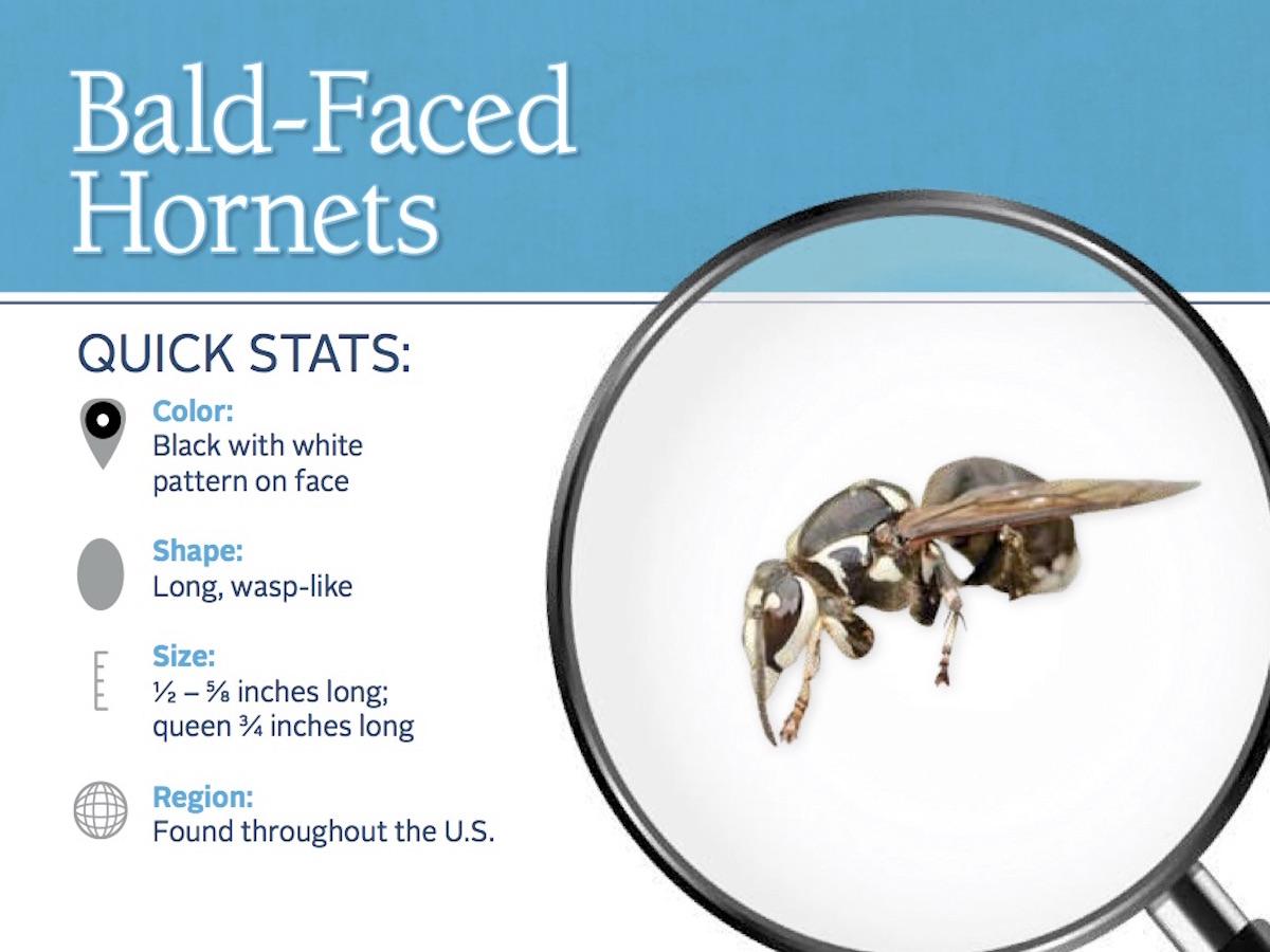 https://0201.nccdn.net/4_2/000/000/04b/787/baldfaced-hornet-pest-id-card_front.jpg