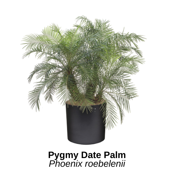 https://0201.nccdn.net/4_2/000/000/04b/f00/pygmy-date-palm.png