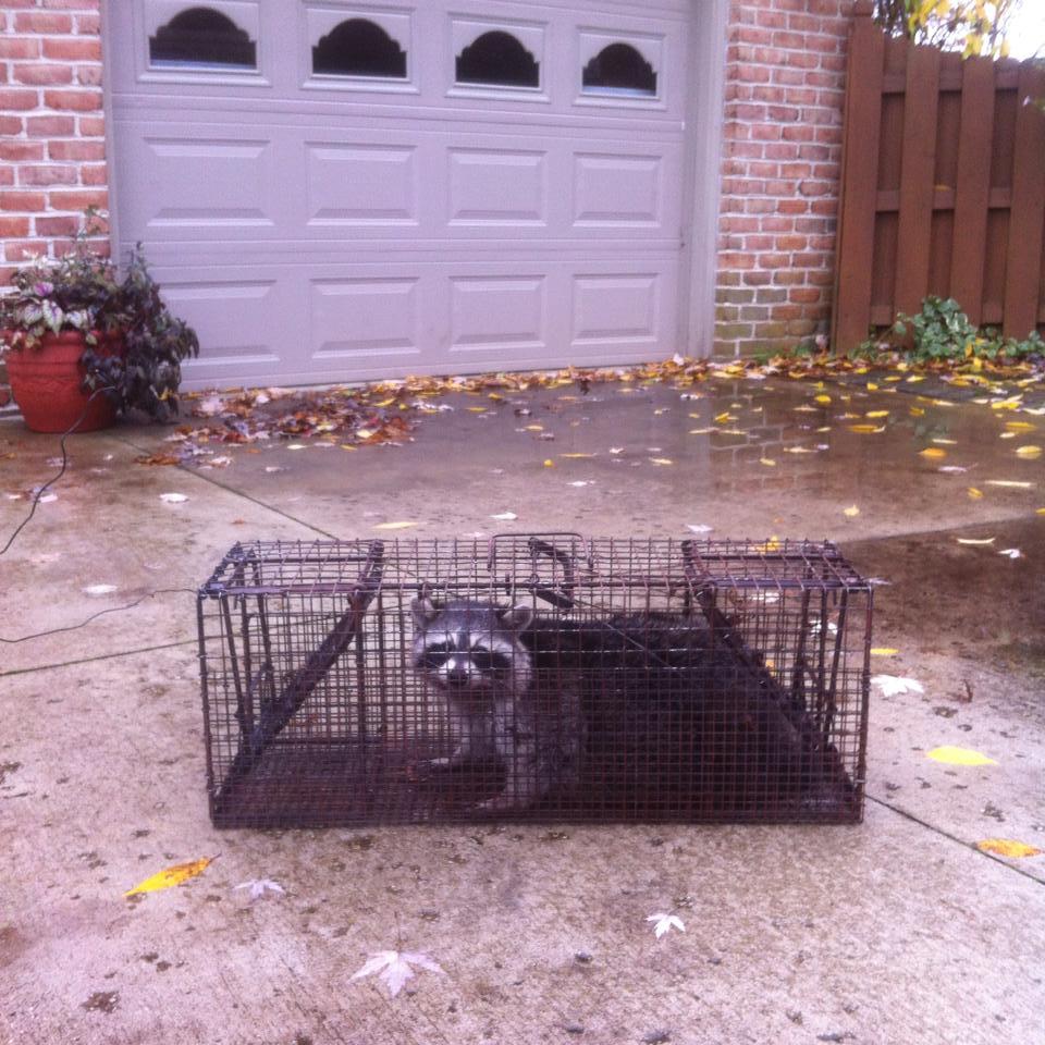 Traverse City Raccoon Removal