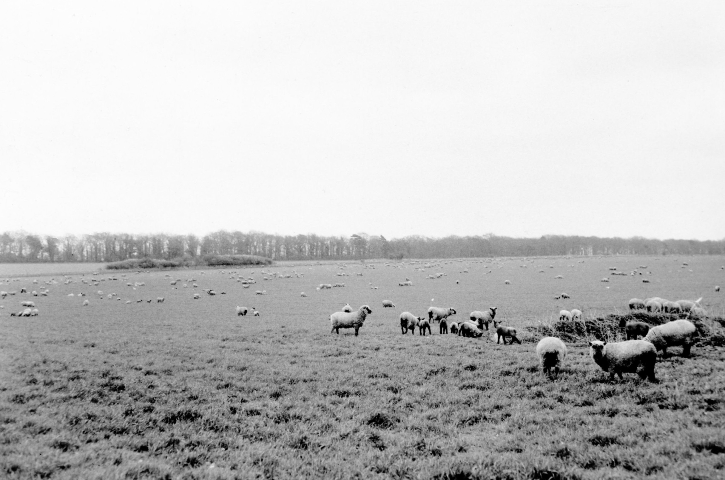 Suffolk Sheep grazing on the Lackford Estate in 1958