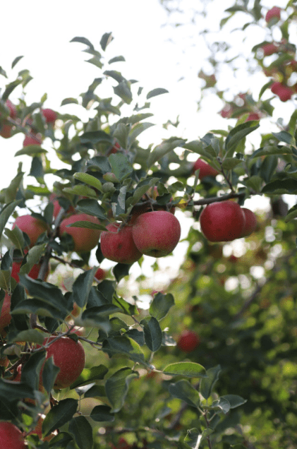 https://0201.nccdn.net/4_2/000/000/04c/a91/apple-tree-min.png