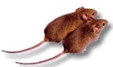 Rodent Removal Cincinnati