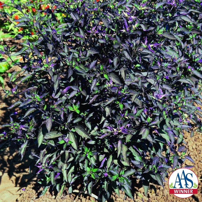 Ornamental Pepper Black Olive