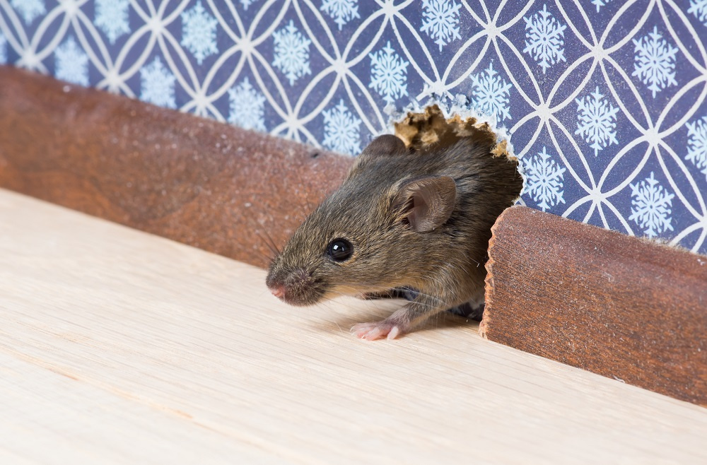 Mouse emerging from mouse hole