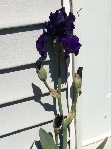 A gorgeous blue Iris in Evelyn's Coquitlam garden