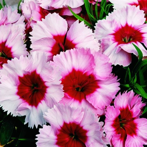 Dianthus Super Parfait Strawberry