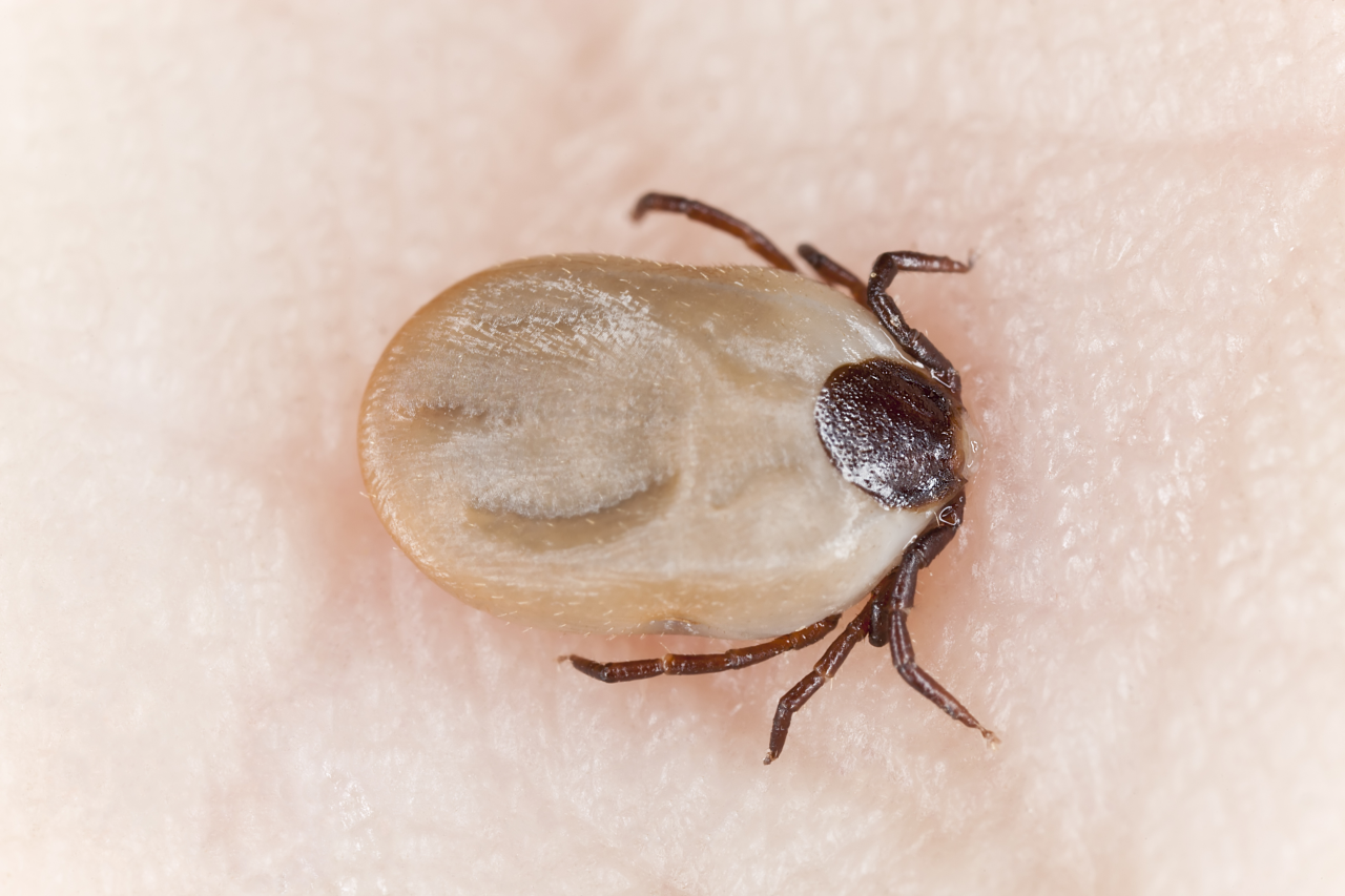 Tick with head in skin||||