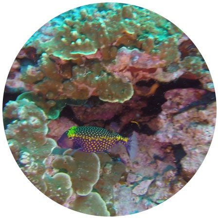 Dotted Puff Fish