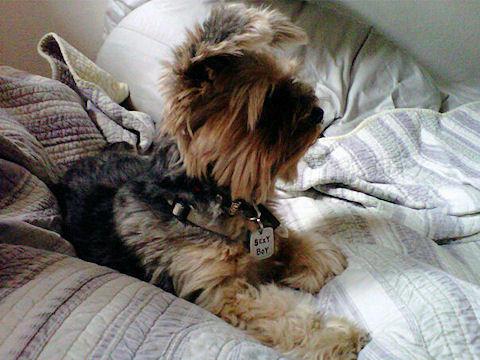 Lucius, Yorkie Terrier