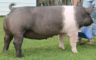 2014 Tennessee State Fair 2nd in class behind the Reserve Champion Crossbred Gilt