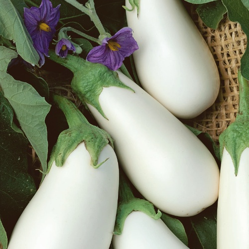 Eggplant White Star