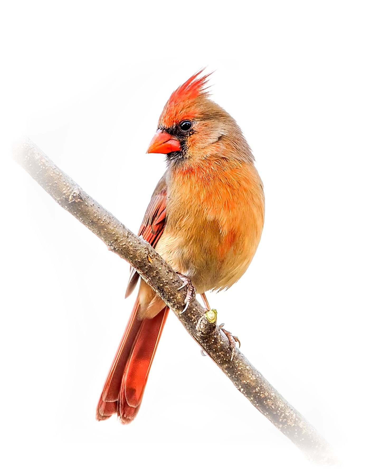 Northern Cardinal female 7
