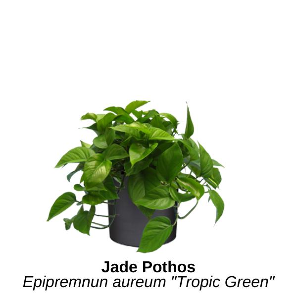 https://0201.nccdn.net/4_2/000/000/05c/240/jade-pothos.png