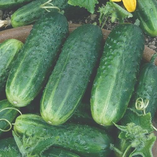 Cucumber Carolina
